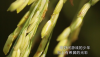 罗定苹塘镇——成熟了的稻子