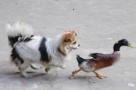 一只愤怒的鸭怒怼狗子
