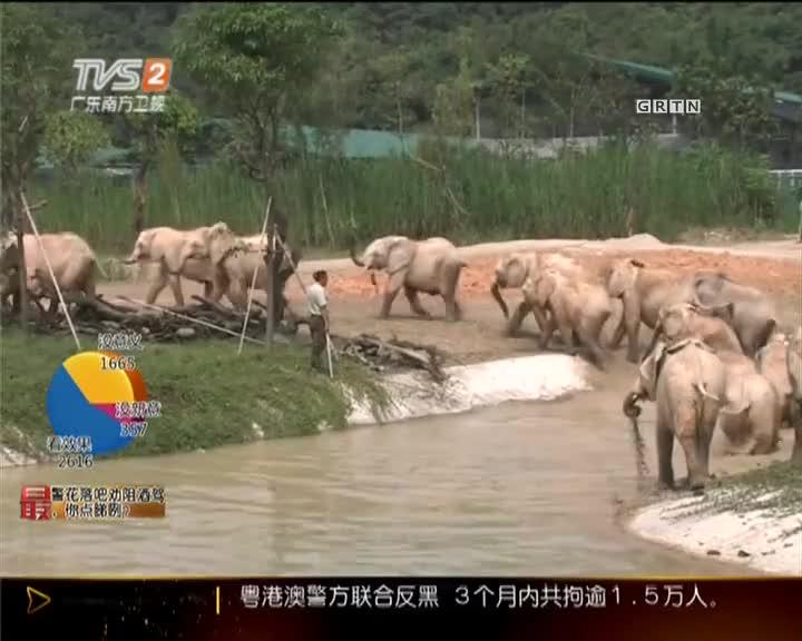 一大波非洲象来袭:听闻已落户清远长隆!