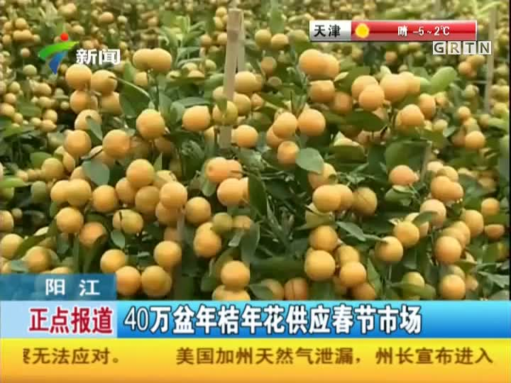 阳江:40万盆年桔年花供应春节市场
