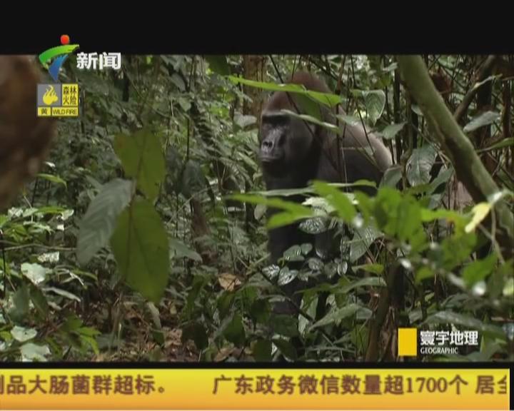 刚果——金刚的巢穴