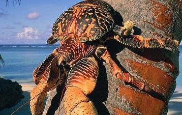 """长得像巨型""""蜘蛛""""的椰子蟹"""