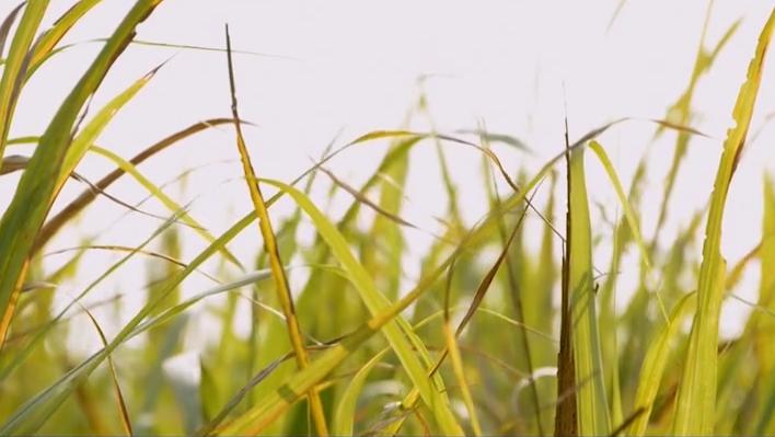湛江遂溪北坡镇急水村——制糖甜蔗