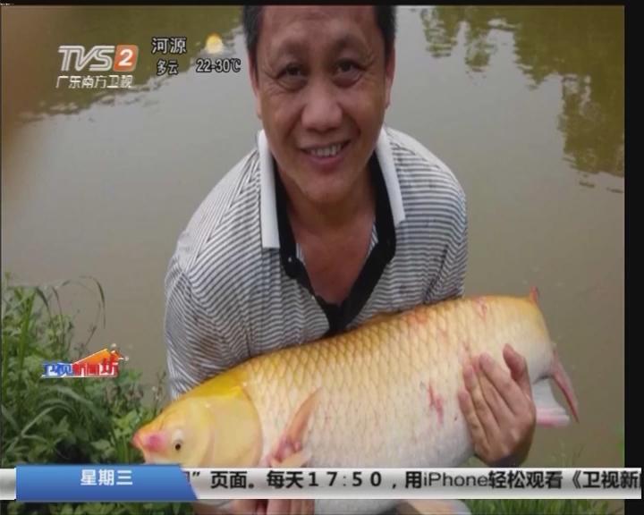 肇庆高要:惊现罕见40斤金黄色鲩鱼