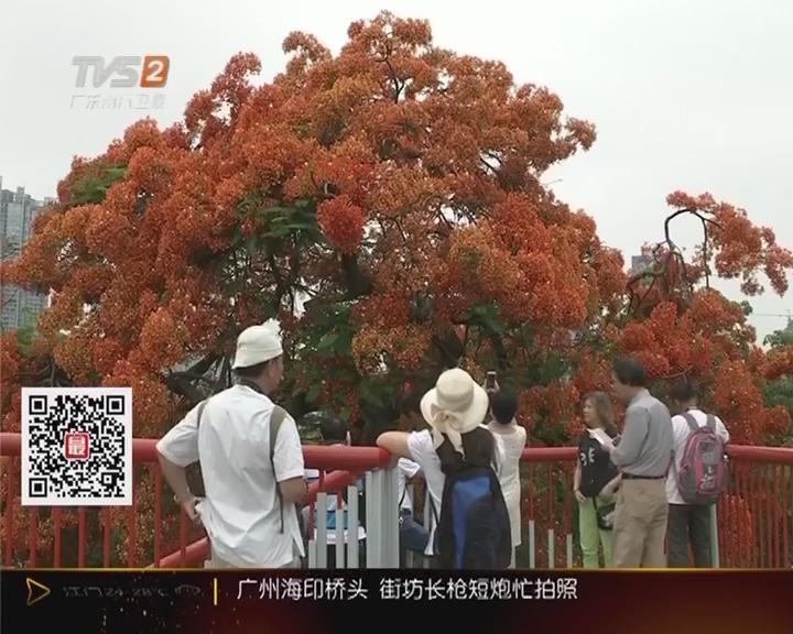 广州:凤凰花盛开 街坊长枪短炮忙拍照