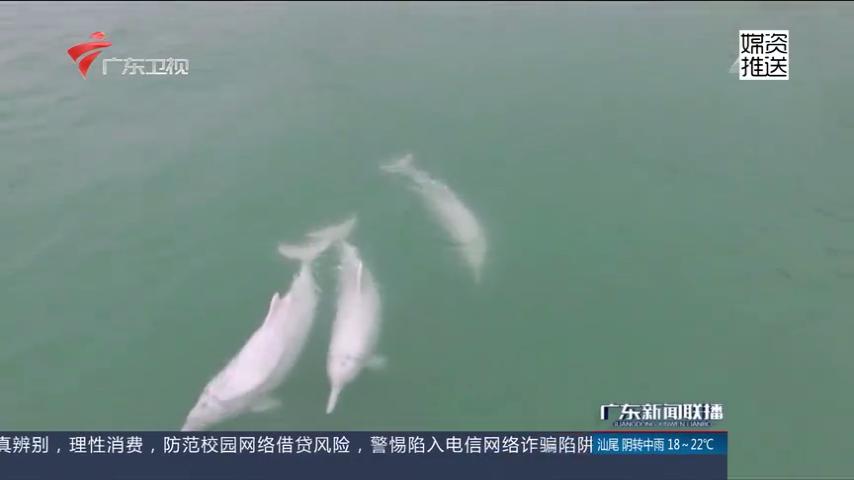 汕头:南澳前江湾 又见白海豚