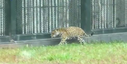 广州动物园豹逃出笼 迅被控制无伤人