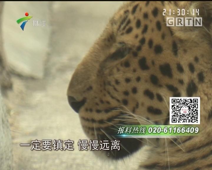 广州动物园金钱豹出逃 好在又被捉回笼了