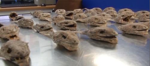深圳:海关截获152只动物头部 藏身行李箱