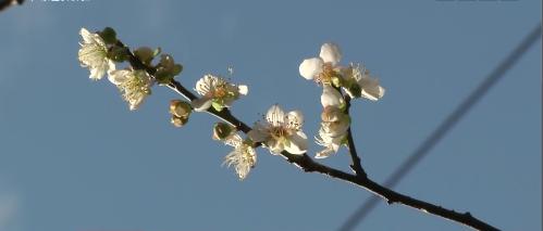 广州:冬至过后 十万株梅花傲寒怒放