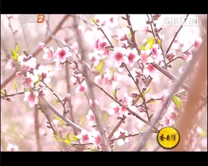 赏花迎春好去处:寻找隐秘李花
