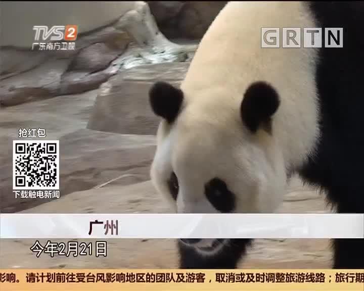 广州番禺:广州土生土长大熊猫成功产下熊猫二代