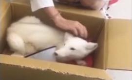 4个月大雪狐被遗弃 领养中心呼吁文明养宠