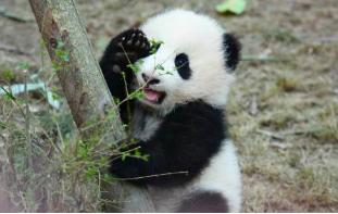 """海归老龄大熊猫""""高高""""结束隔离检疫"""
