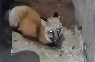 """森林公园""""狐""""出没 受伤被困排水沟"""