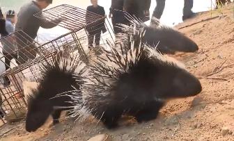 河源:放生野生保护动物 把箭猪果子狸送回家