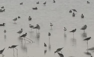 广州南沙:黑脸琵鹭南沙过冬 引发观鸟热潮