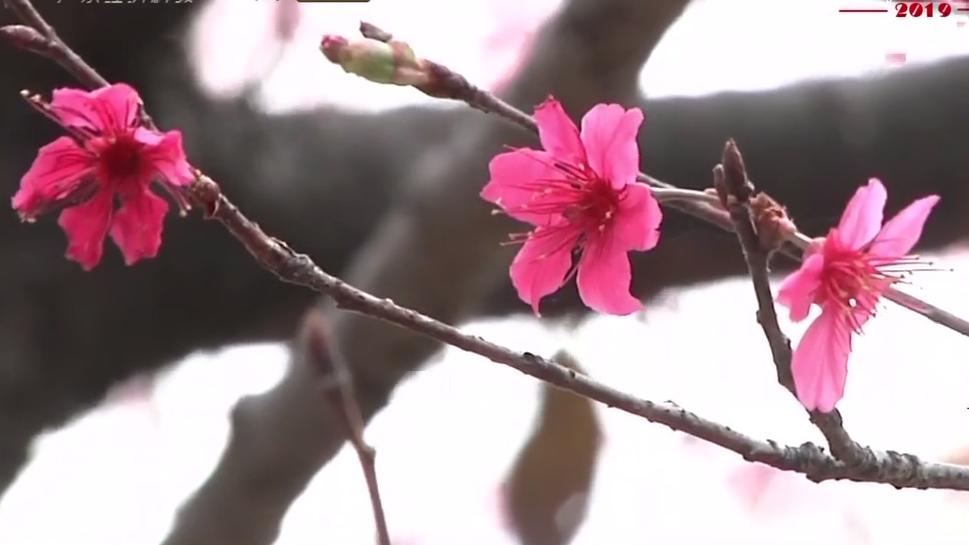 广州华农:春暖樱花提早开 长枪短炮拍不停