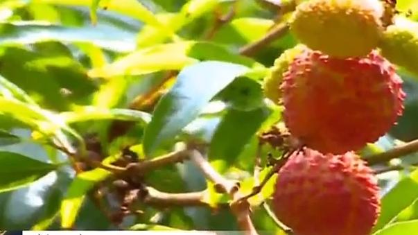 惠州:今年荔枝减产 预计坐果率仅一成