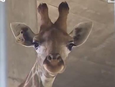 为长颈鹿做手术 左后肢跖骨:一不小心被踩成完全性骨折