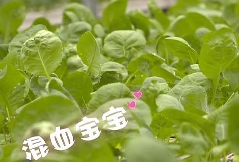 野趣大湾区:水培蔬菜