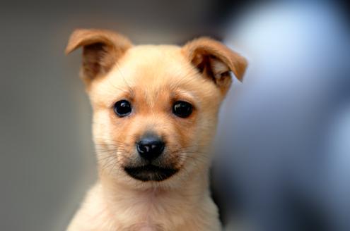 市民投诉:花了上千元买柴犬 却被告知是土狗