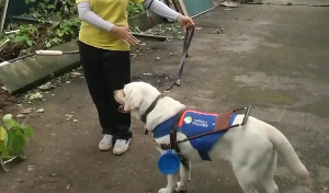 """导盲犬无处安置 谁能给他们一个""""家""""?"""