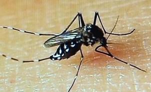 """""""绝育蚊子""""技术抗登革热 最快一年内投用"""