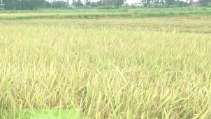 湛江:40多亩水稻田间被偷割 农民欲哭无泪