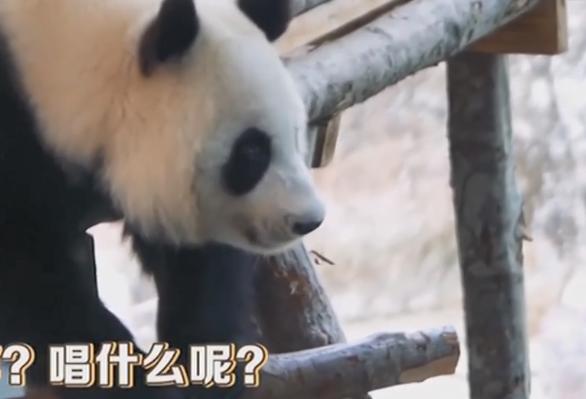 熊猫这样过中秋节!网友:太可爱了吧……