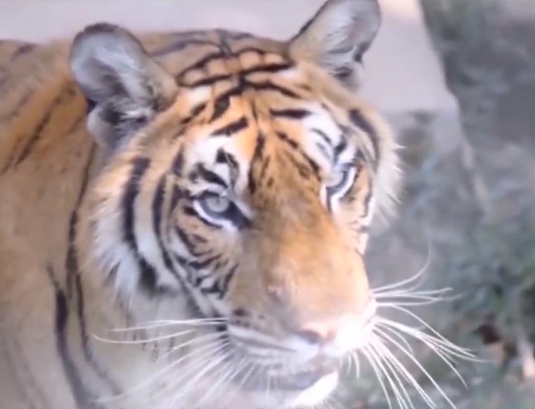 动物园自驾游 老虎一口咬住宝马车