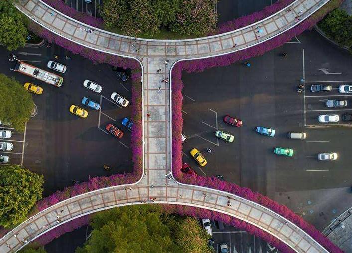 廣州:航拍天橋簕杜鵑爭相綻放 美不勝收