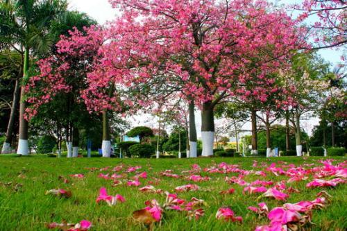 廣州 浪漫異木棉綻放校園 粉色的羊城秋冬