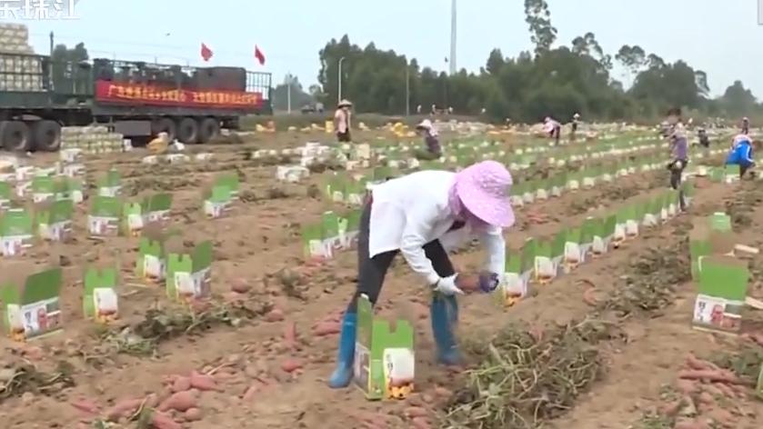 实在!湛江农民父子向武汉捐赠6万斤番薯