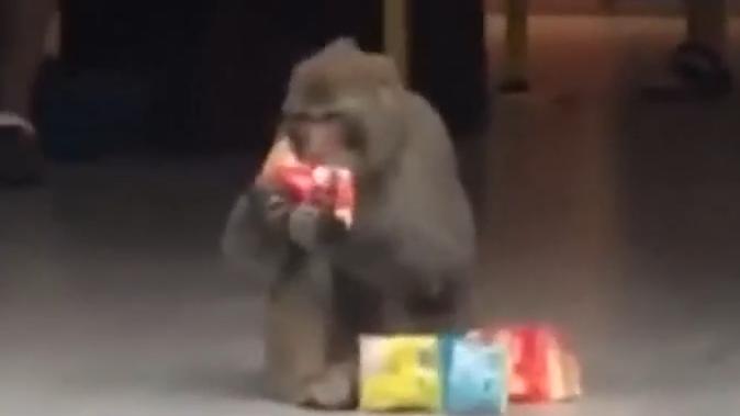 """猴子进超市偷吃零食 走时还不忘""""打包"""""""
