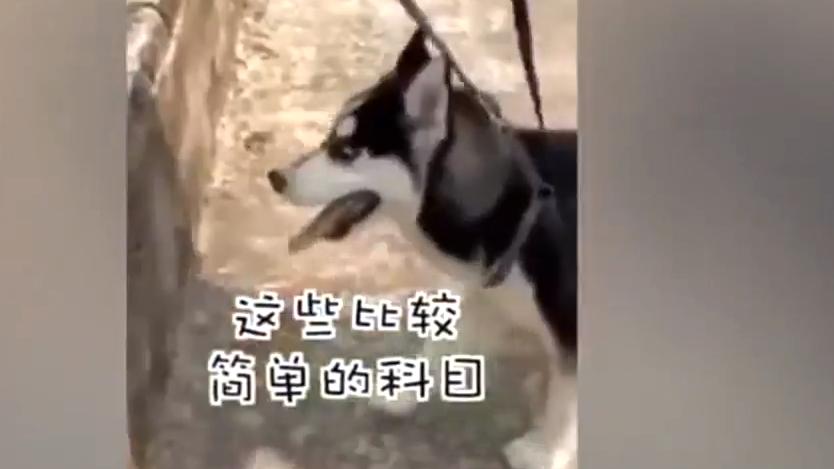 """挑战不可能 特警要训练""""二哈""""做警犬"""