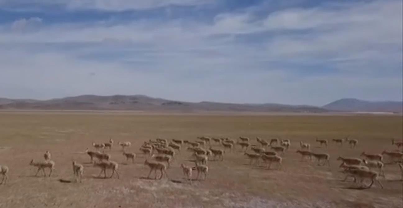 西藏羌塘草原現藏羚羊遷徙壯觀場景