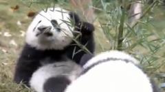 四川:两只人工圈养大熊猫将首次放归都江堰