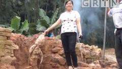 肇庆德庆马圩镇:村民清理旧屋 挖出47斤巨型葛薯