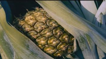 惠来圆墩村—菠萝