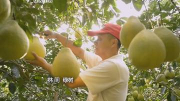 梅州雁洋镇南福村—沙田柚