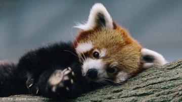 小熊猫有多萌?看完这个视频就懂了