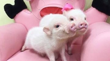 小吃货!长不大的宠物猪