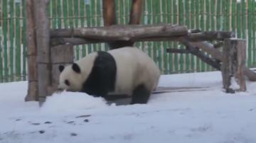 """大熊猫雪地撒欢打滚""""乐不思蜀"""""""