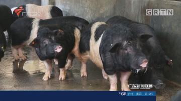 世界首例神经疾病基因敲入猪在广东诞生