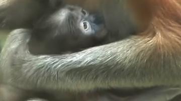 中国第一只珍稀大鼻猴宝宝出生