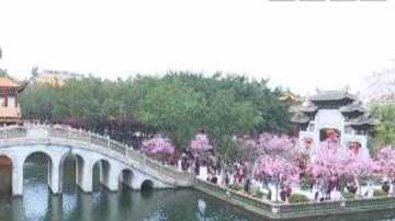 湖边圈圈樱花树 只见粉红不见人