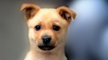 市民投訴:花了上千元買柴犬 卻被告知是土狗