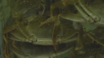 野生阳澄湖大闸蟹