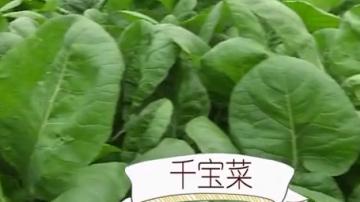 制作花肉榄菜炒千宝菜